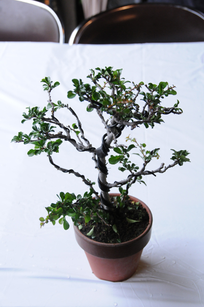 img_yuzu_bonsai_10.jpg